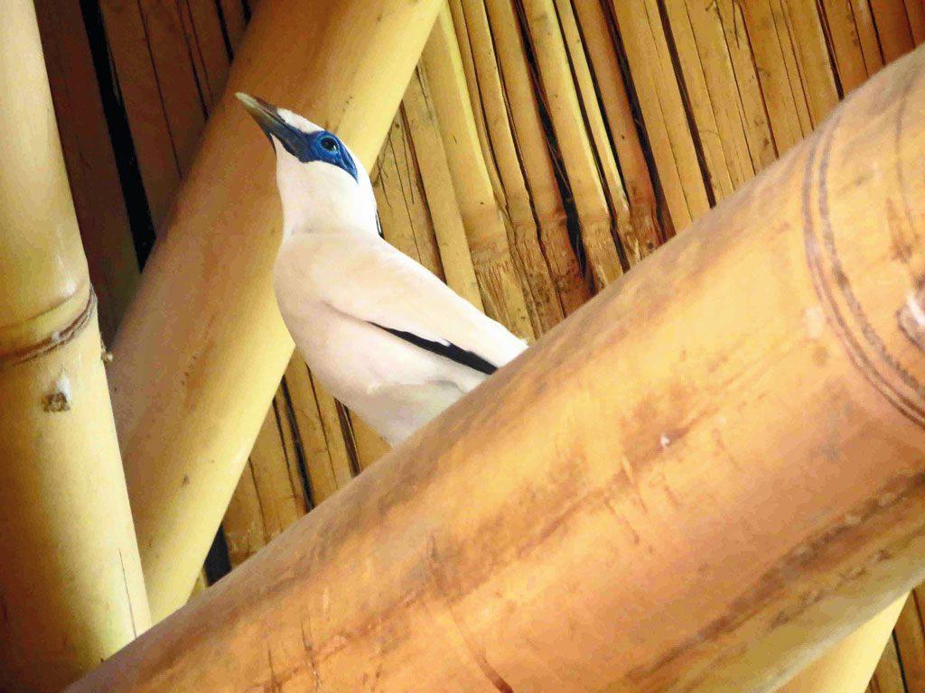 WO---Begawan-Foundation---Bali-Starling-bamboo