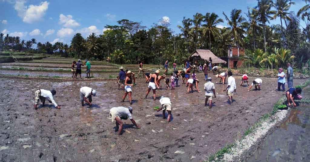 Charity-Profile---Sawah-Bali----Planting