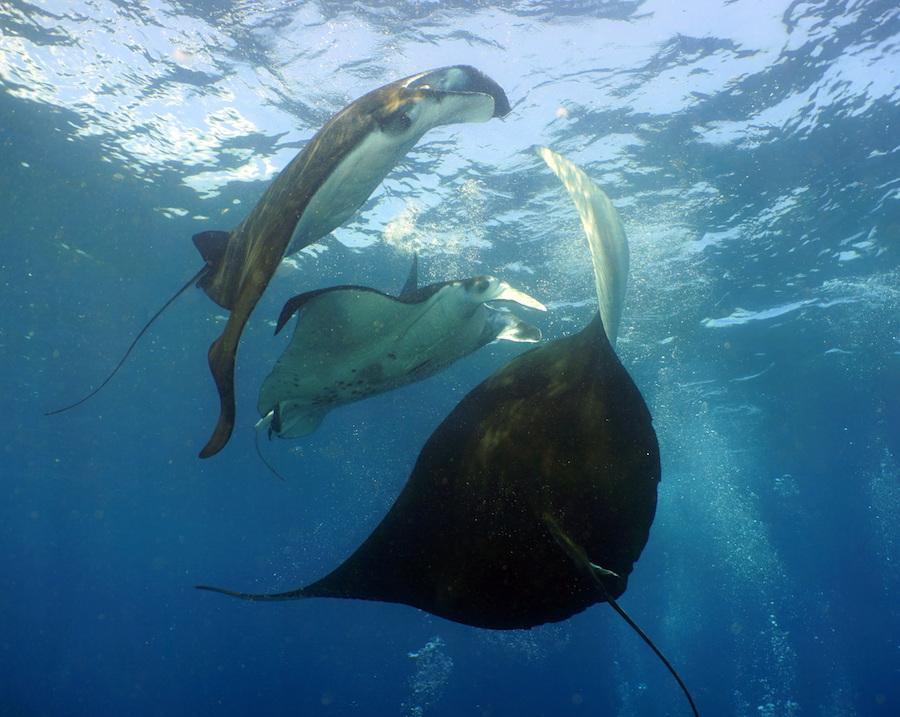 Bali Manta Rays Nico Dives Cool 1 5