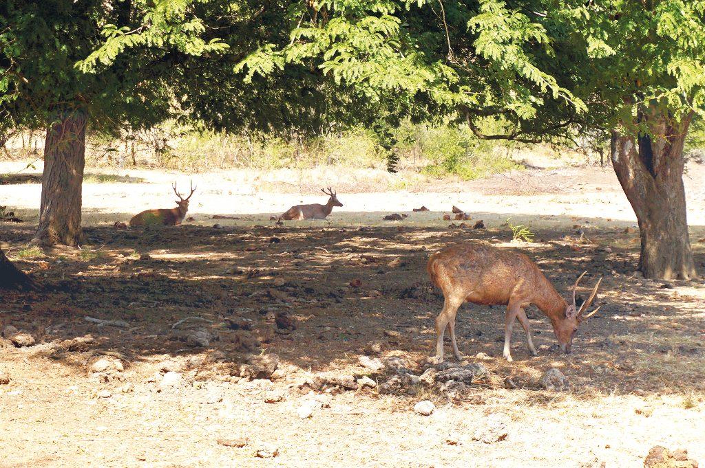 resident deers of Rinca Island
