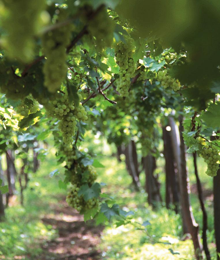 Vineyards of Hatten Wines in North Bali
