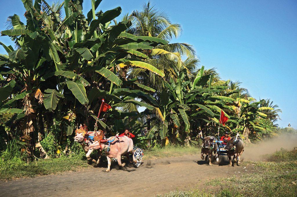WO - Makepung Race