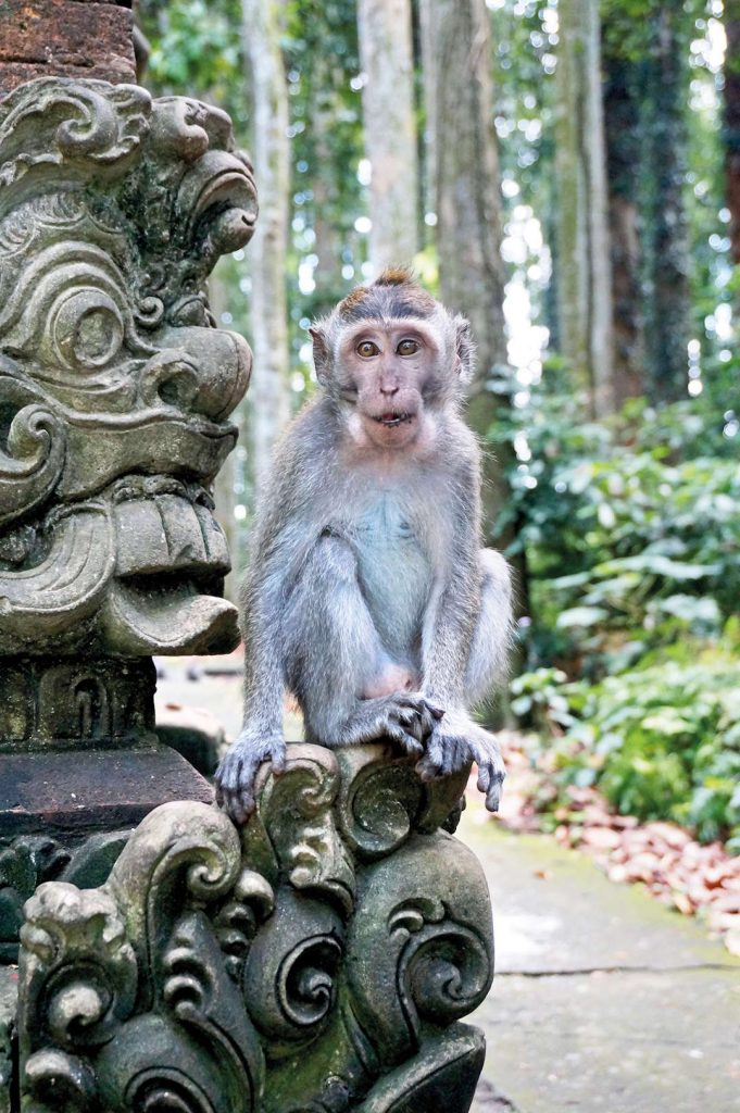 Monkey at Sangeh Monkey Forest