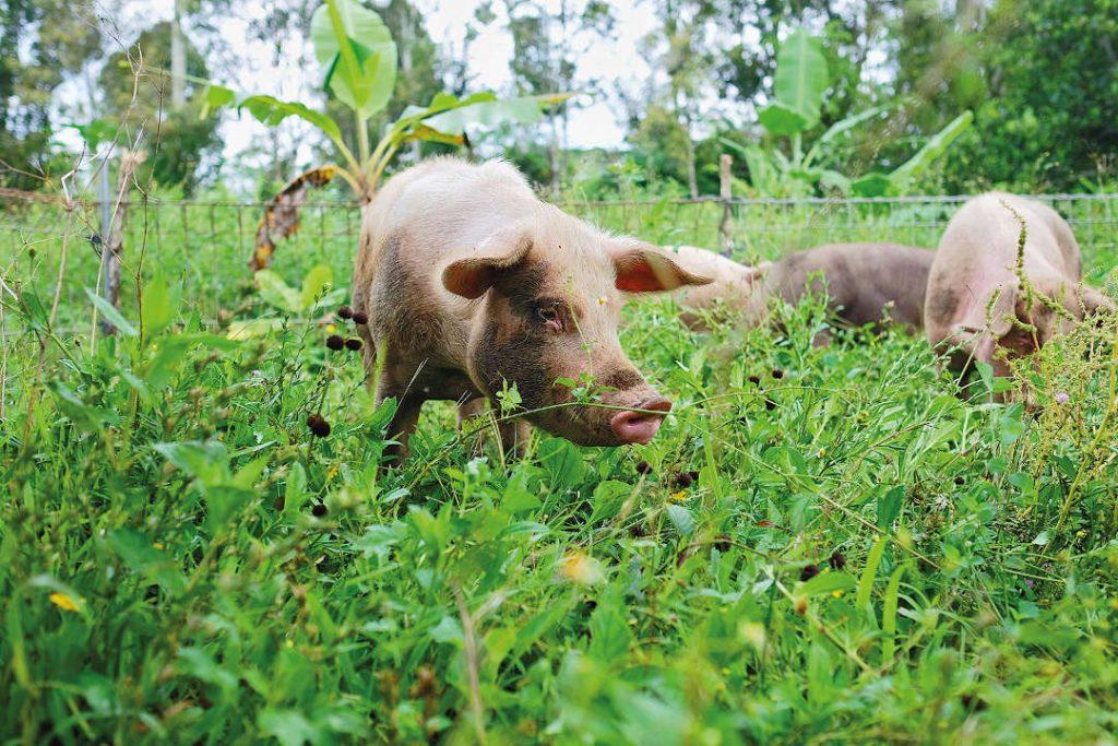 Bali Highlands Organik - Pig Farm Bali