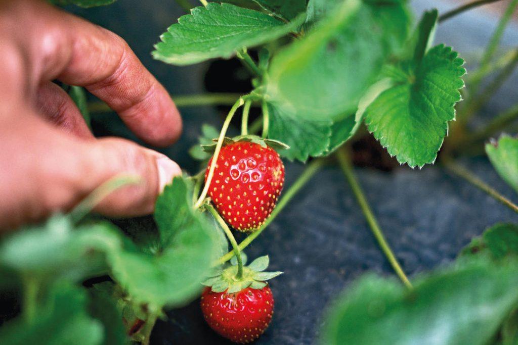 Strawberry Picking in Bedugul Bali