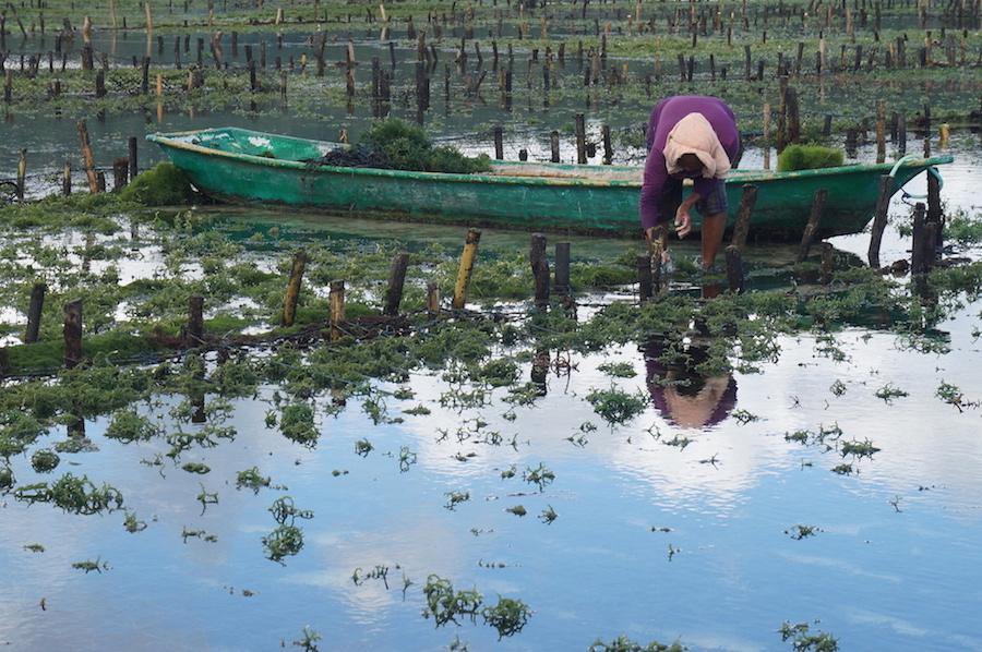 Seaweed Farmer on Nusa Lembongan