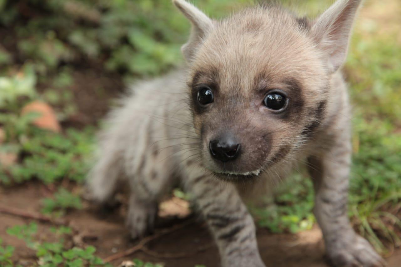 Bali Safari Hyena Baby
